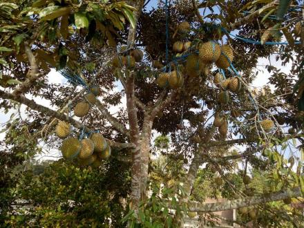 Potensi Unggulan Desa Surenlor adalah durian